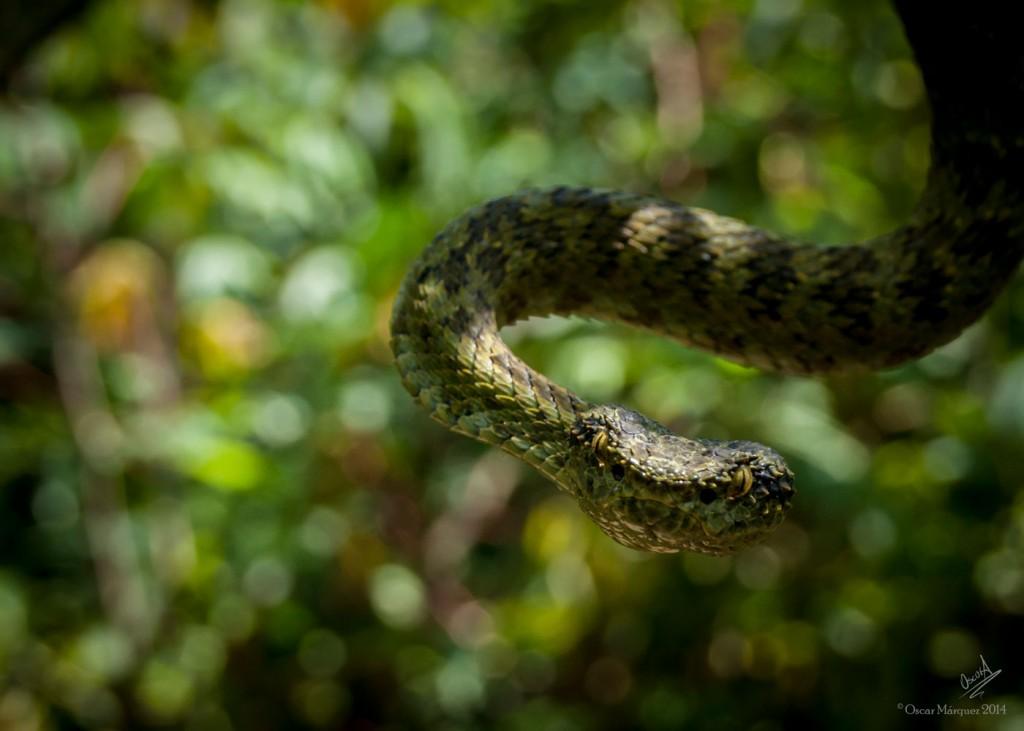 Serpiente Posando en Frente de la Cámara