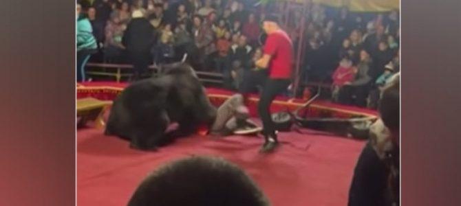 Un vídeo aterrador muestra el momento en que un oso de circo de 660 libras se vuelve contra el entrenador y lo ataca.